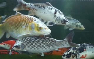 koi-fish-pond